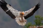 Египетският лешояд – рядка и интелигентна птица, застрашена от изчезване