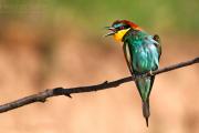 Пчелоядът – най-красивата и екзотична птица в България